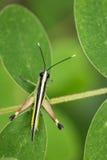 Изображение бело-наклоненного сахарным тростником кузнечика саранчи Стоковые Фото