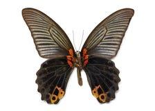 Изображение большого memmon Papilio бабочки Мормона Стоковое фото RF