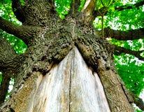 изображение большого дерева в лесе, Стоковые Изображения RF