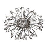 Изображение вектора цветка маргаритки Чертеж стиля эскиза иллюстрация вектора