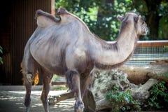 Изображение верблюда Стоковая Фотография RF
