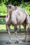 Изображение верблюда Стоковые Изображения RF