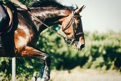 Изображение верховой лошади скача над препятствием Стоковые Фото