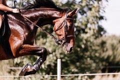 Изображение верховой лошади скача над препятствием Стоковая Фотография RF