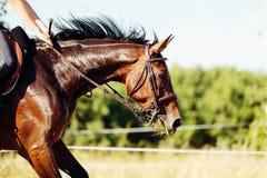 Изображение верховой лошади скача над препятствием Стоковые Изображения RF