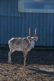 Изображение весны мужского saiga стоя на сухой земле стоковые фотографии rf