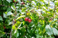 изображение ветви дерева с яблоками на зеленой предпосылке Стоковые Изображения RF
