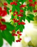 Изображение ветви с ягодами на зеленом цвете запачкало предпосылку Стоковое фото RF