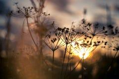 Изображение вечера силуэта травы пастернака коровы на заходе солнца запачкало поле Стоковое Изображение RF
