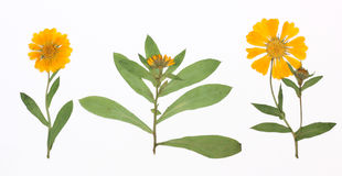 Изображение высушенных цветков в нескольких вариантов Стоковые Фото