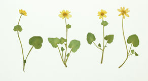 Изображение высушенных цветков в нескольких вариантов Стоковое Изображение