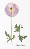 Изображение высушенных цветков подписанных в латыни Стоковые Изображения RF