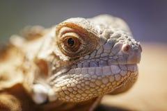 Изображение головы ящерицы на предпосылке природы гад angoras стоковая фотография