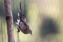 Изображение голубя прикреплено к сети angoras Стоковое Изображение RF