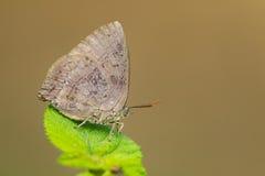 Изображение голубянок бабочки на лист на предпосылке природы Стоковые Фото