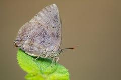 Изображение голубянок бабочки на лист Стоковые Фото