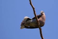Изображение голубя садилось на насест на ветви дерева Стоковая Фотография
