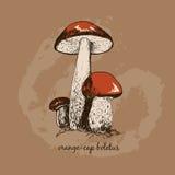изображение гриба одного крупного плана крышки подосиновика предпосылки осины полное померанцовое стоя бел Стоковое Изображение