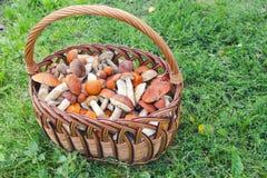 изображение гриба одного крупного плана крышки подосиновика предпосылки осины полное померанцовое стоя бел Стоковые Изображения RF