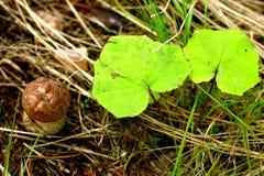 изображение гриба одного крупного плана крышки подосиновика предпосылки осины полное померанцовое стоя бел Стоковые Фотографии RF