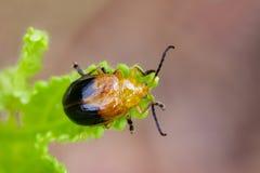 Изображение Двойн-запятнанного andreweisi Oides жука на зеленых листьях Стоковые Фотографии RF