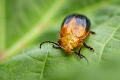 Изображение Двойн-запятнанного andreweisi Oides жука на зеленых листьях Стоковые Изображения