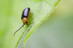 Изображение Двойн-запятнанного andreweisi Oides жука Стоковые Фотографии RF