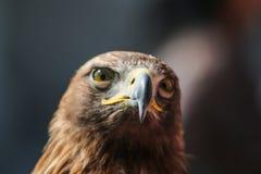 Изображение детали eagleголовных Стоковая Фотография