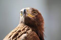 Изображение детали eagleголовных Стоковые Изображения