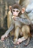 Изображение еды младенца резуса макаки Стоковые Фото
