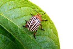 Изображение жука Колорадо на лист картошки Стоковое Изображение RF