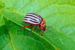Изображение жука Колорадо на лист картошки Стоковое Изображение
