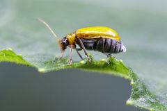 Изображение жука тыквы на зеленых листьях насекомое Животное Стоковое Изображение