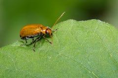 Изображение жука тыквы на зеленых листьях насекомое Животное Стоковая Фотография