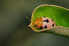 Изображение жуков или Ladybugs Ladybird на зеленых листьях Стоковая Фотография
