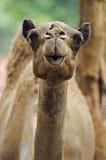 Изображение запаса верблюда на зоопарке Стоковое Изображение RF