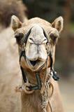 Изображение запаса верблюда на зоопарке Стоковая Фотография RF