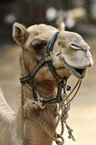 Изображение запаса верблюда на зоопарке Стоковое Фото