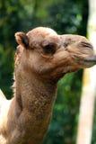Изображение запаса верблюда на зоопарке Стоковое Изображение