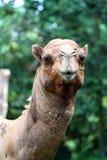 Изображение запаса верблюда на зоопарке Стоковые Фотографии RF