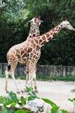 Изображение запаса жирафа на зоопарке Стоковое Изображение
