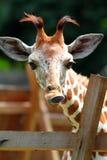 Изображение запаса жирафа на зоопарке Стоковые Изображения RF