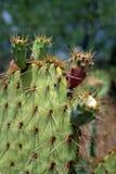 Изображение запаса национального парка Saguaro, США Стоковые Изображения RF