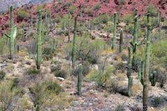 Изображение запаса национального парка Saguaro, США Стоковое Фото