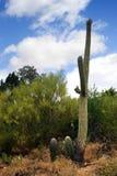 Изображение запаса национального парка Saguaro, США Стоковая Фотография