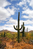 Изображение запаса национального парка Saguaro, США Стоковые Фото