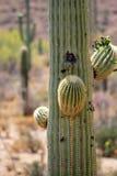 Изображение запаса национального парка Saguaro, США Стоковое фото RF
