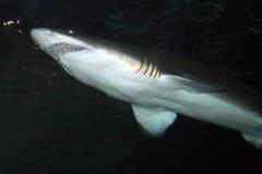 Изображение запаса тигровой акулы (Galeocerdo более cuvier) стоковая фотография rf