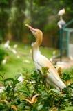 Изображение запачканного и селективного фокуса птицы egret скотин (Bubulcus ibis) стоя на зеленой листве Стоковое Изображение RF