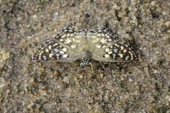 Изображение запятнанной агамы агамы Caprona бабочки угла стоковые изображения rf